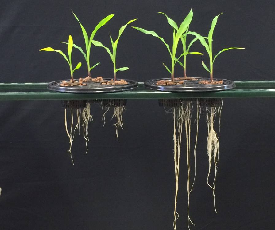 Acceleron B-300 seed coating