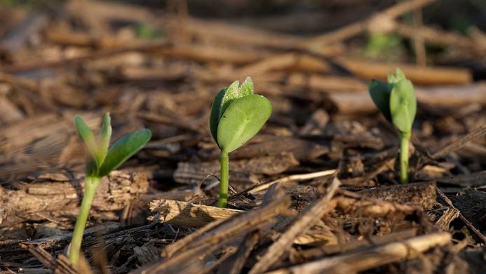Soil soybean closeup