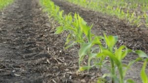 Assessing your Need for Sulfur Application in Corn