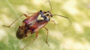 California Agriculture: What A Difference A Year Makes For Insect And Disease Control