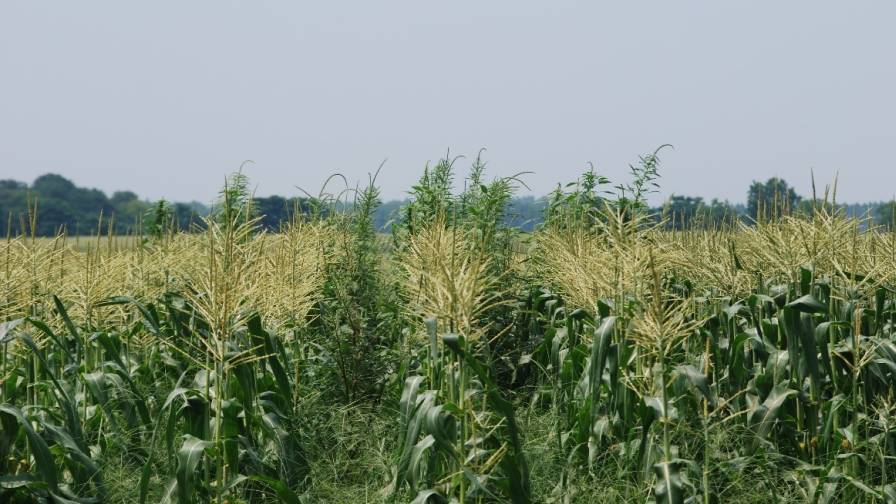 Palmer Amaranth in Corn