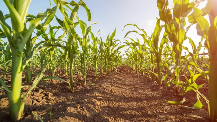 Corn soil