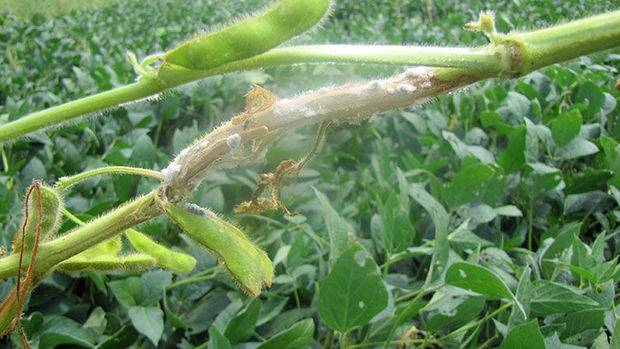 Rare Soybean Disease Shows in Missouri