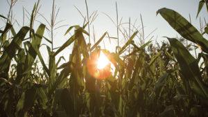 Protected: Applying fall nitrogen? Plan carefully.