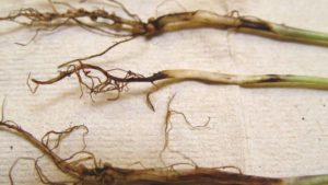 6 Tips for Collecting Samples for Diagnosis of Seedling Diseases and Disorders