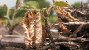 Diagnosing Soybean Seedling Diseases