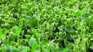 2,4-D and Dicamba Cropping Systems in 2018: Looking for a Smoother Year