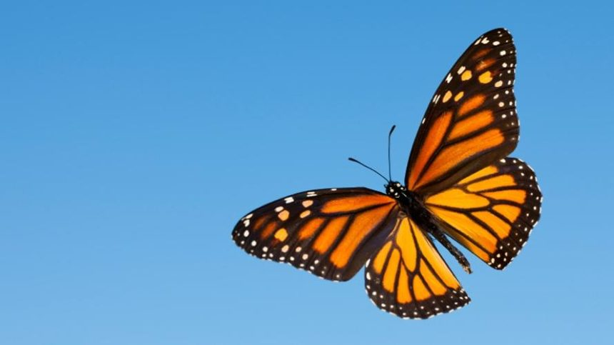 The Monarch Butterfly Effect in Agriculture