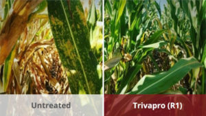 79% of Corn Growers Who Used Trivapro Fungicide Maximized ROI