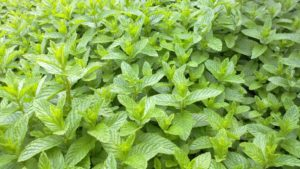 Tough 5EC Herbicide Granted for Emergency Use in Mint